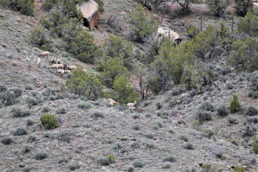 bighorn sheep in Colorado National Monument